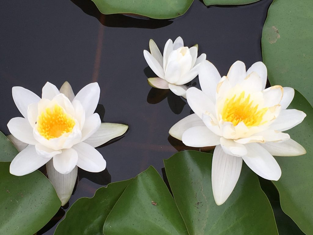 Guided Visualization Meditation Techniques for Beginners - lotus flowers reflect the chakras within us