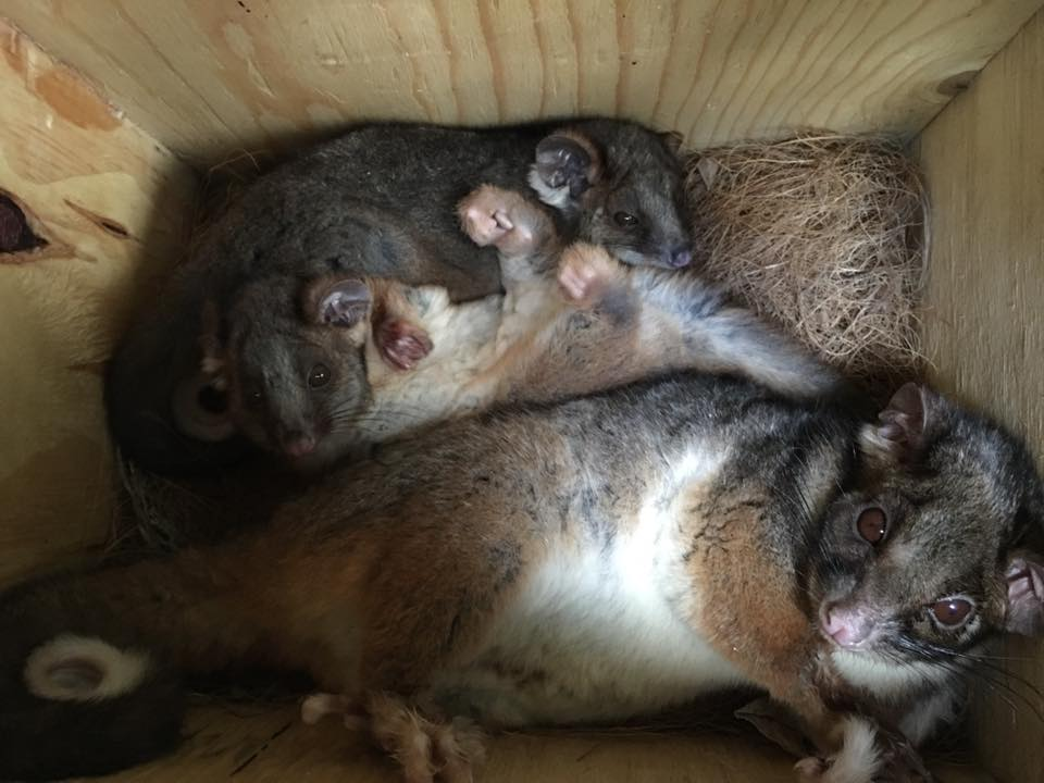 Guided Nature Meditation with calming sounds. Healing Power of Animals. Many medical reports have credited animals with positive effects on people's lives - ringtail possum family