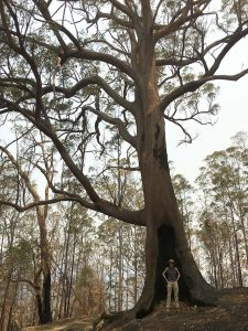 Tilly Gray at the base of an old ancient tree affected by Fires at Doyles River