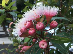 Your physical body and chakras are tucked away beneath these layers of petals - Eucalyptus Flower buds