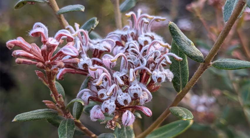 zoom guided meditation course by nature with Senka - pink spring flowers royal national park